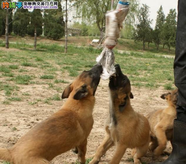 24小时微信服务热线:15999923495比利时马犬出售