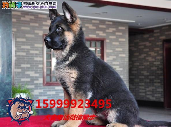 24小时微信服务热线:15999923495德国牧羊犬出售