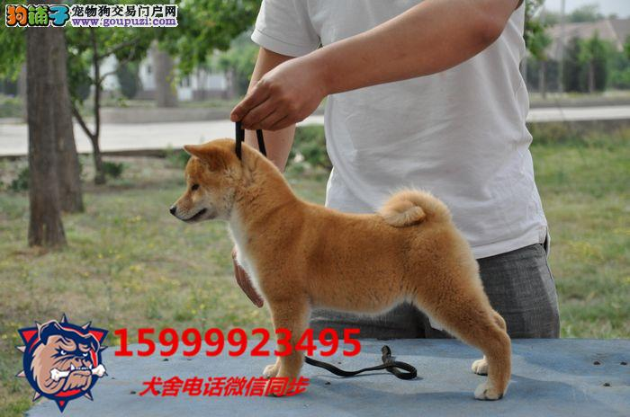 狗场直销 送货上门:秋田犬、柴犬、茶杯、柯基犬