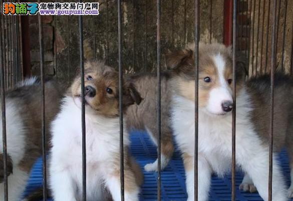 狗场直销 送货上门:苏牧犬、巴哥犬、雪纳瑞、柴犬