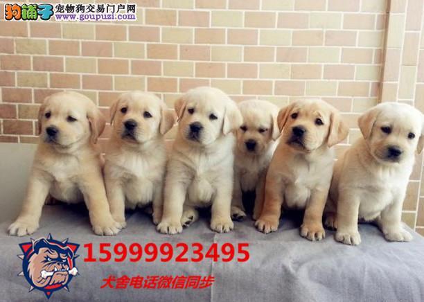 狗场直销 送货上门:拉布拉多、茶杯犬、比熊、金毛犬