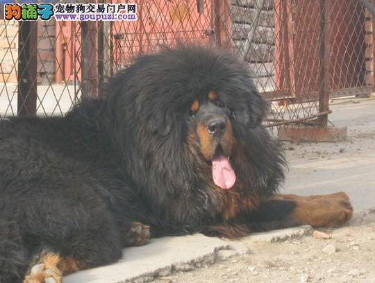 狗场直销 送货上门:藏獒、秋田、柴犬、茶杯、柯基