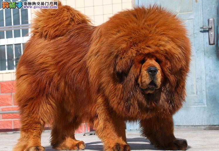 24小时微信服务热线:15999923495 藏獒犬出售