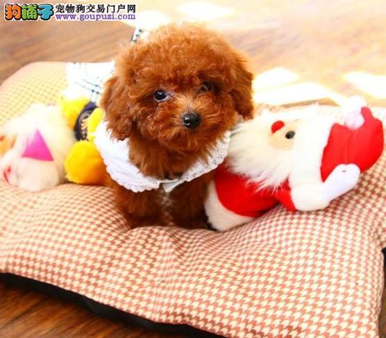 24小时微信服务热线:15999923495茶杯犬出售