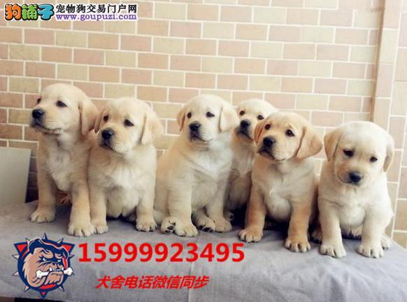 24小时微信服务热线:15999923495拉布拉多犬出售