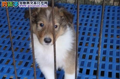 24小时微信服务热线:15999923495 苏牧犬出售