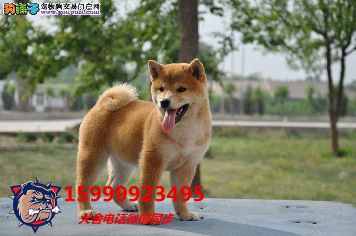 24小时微信服务热线:15999923495 柴犬出售