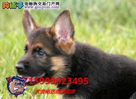 24小时微信服务热线:15999923495 狼狗出售