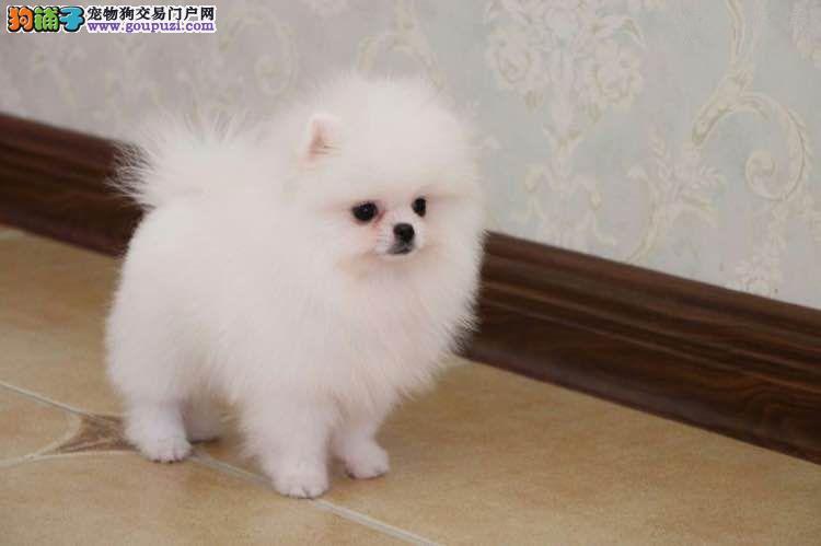 24小时微信服务热线:15999923495博美犬出售