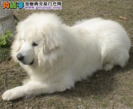 深圳哪里卖纯种大白熊 大白熊养殖场 质量三包