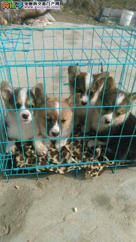北京纯种威尔士柯基犬幼犬 公母均有疫苗齐全
