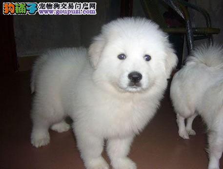 湖南纯种大骨量大白熊幼犬王者风范品相纯正