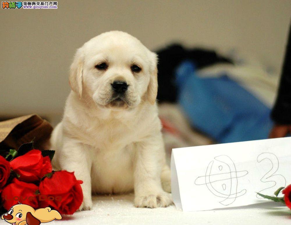 自家繁殖拉布拉多犬包纯种保健康签订协议多只挑选