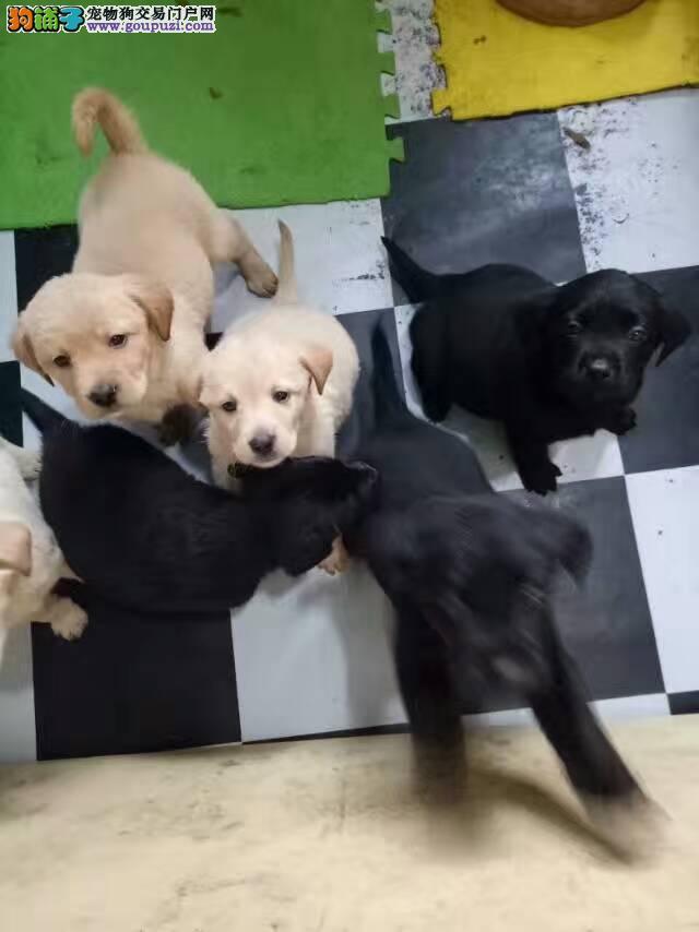出售拉布拉多幼犬大家来看看咯