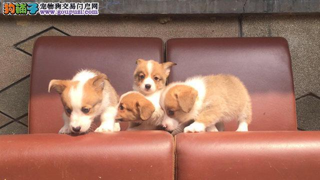 柯基犬待售、保健康、品相超好、颜色齐全、签协议