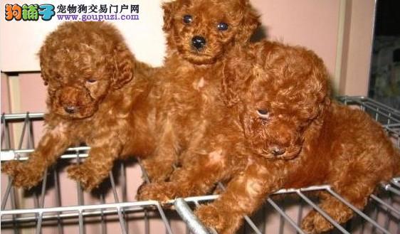 昆明泰迪昆明卖泰迪昆明买泰迪昆明狗场出售纯种泰迪