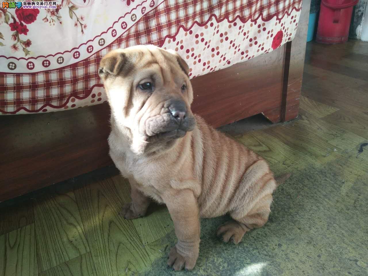 沙皮犬两个月大,转让爱犬人士