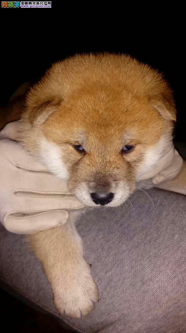 河北唐山出售日本柴犬三公一母,已打疫苗已驱虫