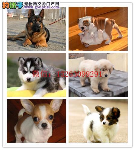 沈阳本地狗场出售西施犬 支持上门看狗加微信有折扣