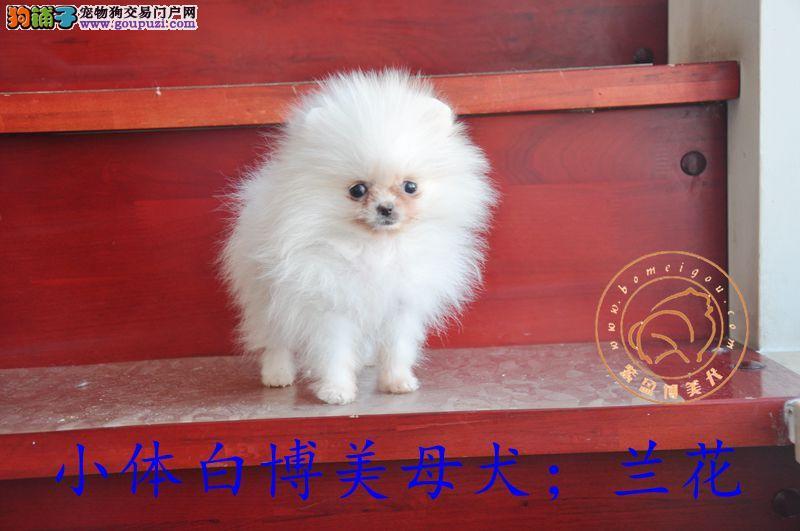 哈尔滨博美犬出售现在公母都有
