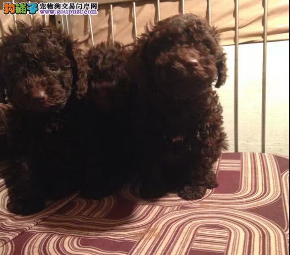 昆明西山区狗场泰迪犬 昆明西山区纯种泰迪小狗