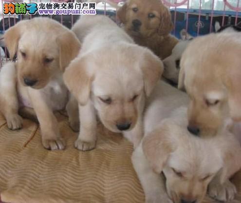 昆明西山狗场拉布拉多幼犬 昆明西山纯种拉布拉多小狗
