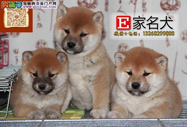 日本柴犬<品质三包 完美售后>电话微信:13268299888