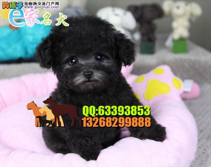 泰迪熊犬<品质三包 完美售后>电话微信:13268299888