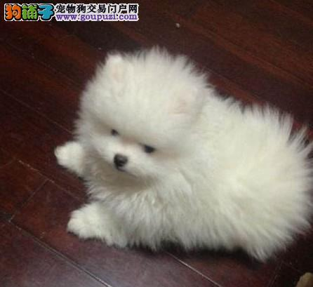 哈市卖哈多利纯种博美幼犬