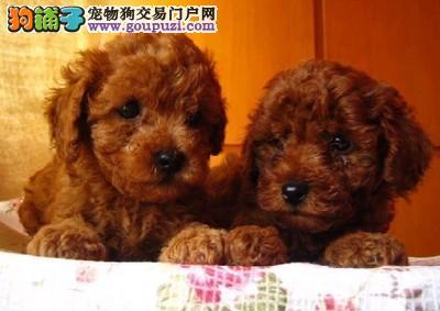 德宏州买泰迪小狗/瑞丽有没有纯种泰迪犬出售