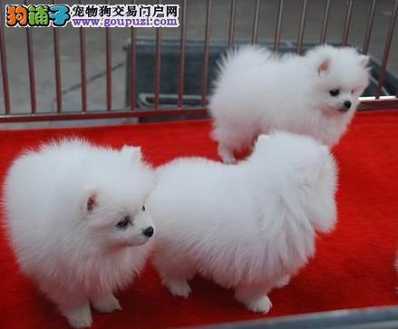 大理买小狗/大理买纯种博美/大理宠物市场