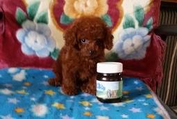 大连哪卖纯种韩版血统茶杯,微小体泰迪熊犬