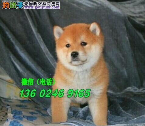 深圳哪里有卖柴犬 日本小柴犬多少钱一只
