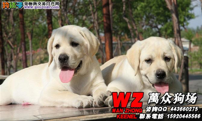 拉布拉多导盲犬 签订健康协议微信号:15920445566
