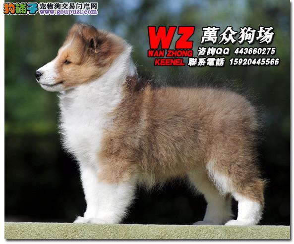 纯种苏格兰牧羊犬、纯种健康、微信号:15920445566