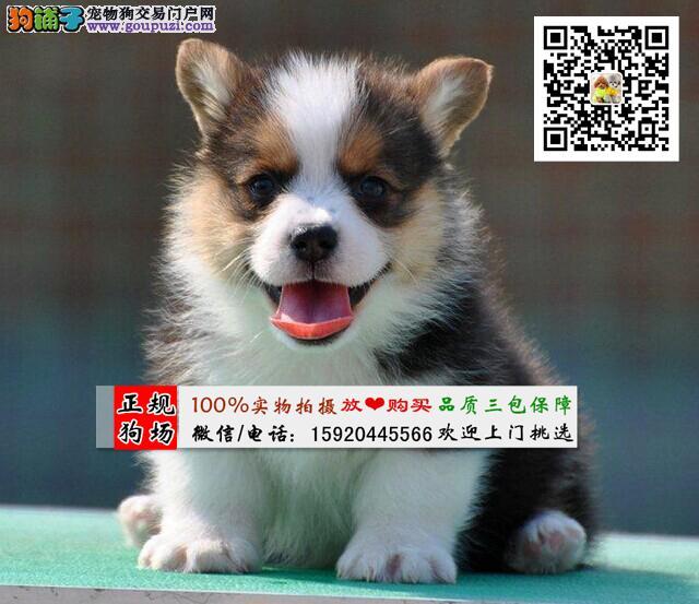 纯种顶级柯基犬短粗腿、专业繁殖微信号15920445566