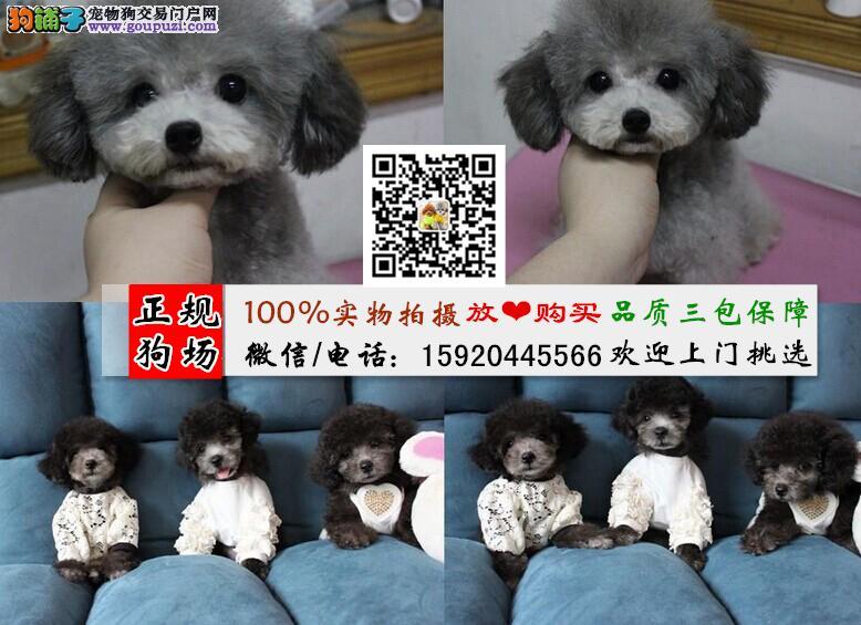 茶杯泰迪、玩具泰迪、迷你泰迪、微信号15920445566