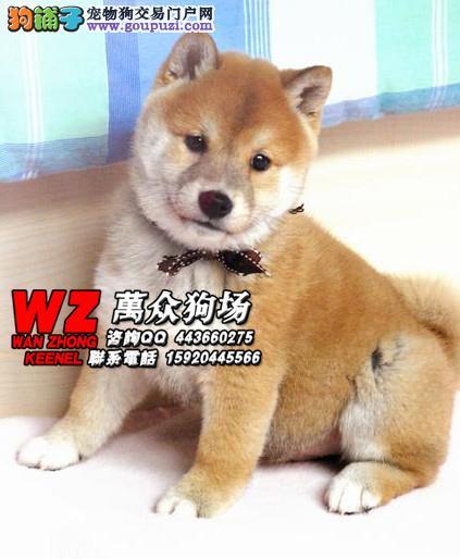赛级日本柴犬幼犬 品相好 血统纯 微信号:15920445566