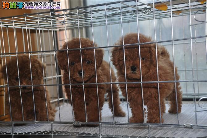 西昌买宠物狗 西昌买泰迪 西昌泰迪价格