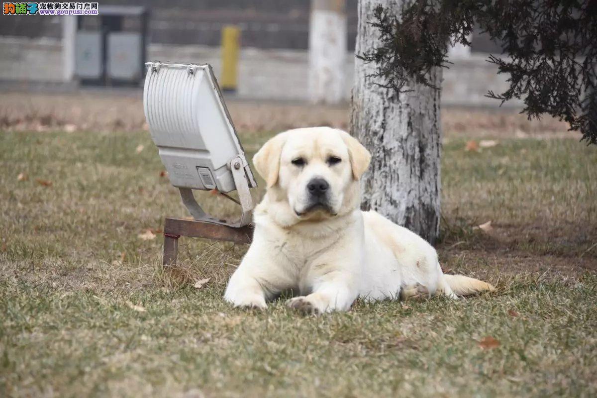赛级精品拉布拉多犬 冠军后代,带证书带芯片