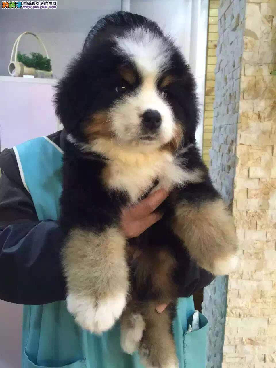 出售纯种健康的伯恩山幼犬,疫苗齐,全国空运