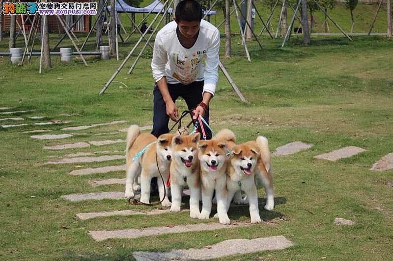 日系纯种秋田犬,犬舍专业繁育,终身质保纯种