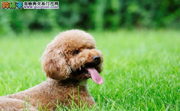 泰迪犬一般能活多长时间 泰迪犬寿命详析9