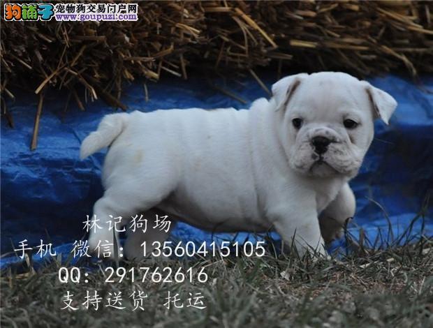 广州哪里有卖英国斗牛犬中山哪里有卖法国斗牛犬_