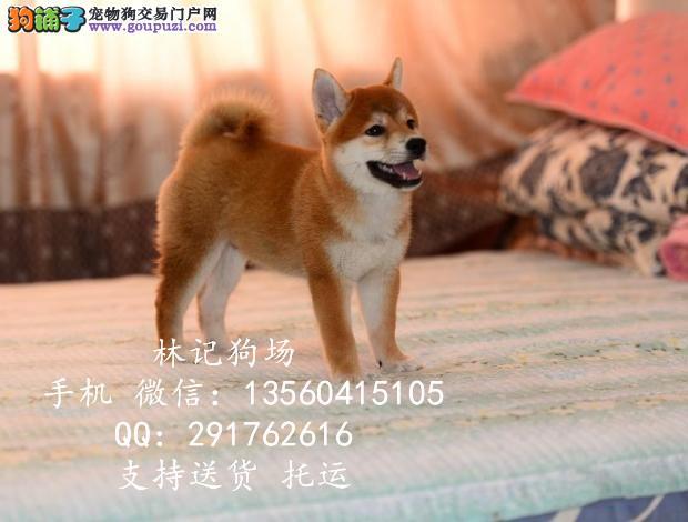 广州哪里有卖秋田犬的 中山秋田犬价格多少钱一只