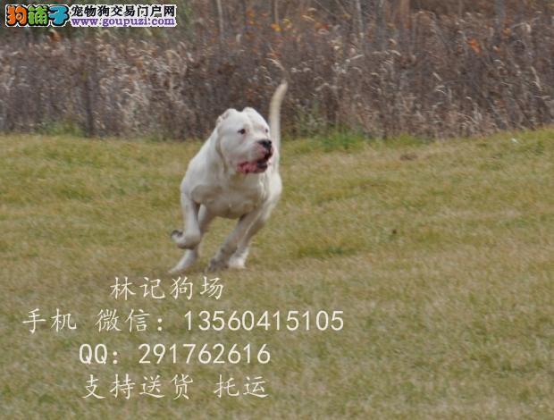 广州哪里有卖阿根廷杜高犬;杜高幼犬多少钱
