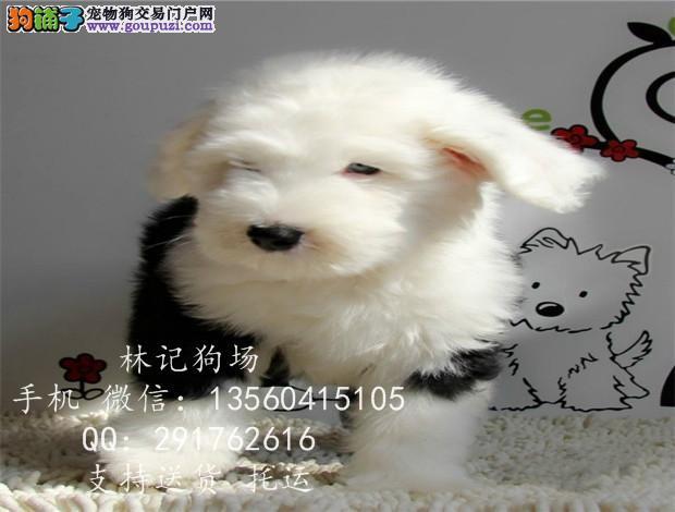 广州哪里有卖古牧犬,古牧怎么卖 古牧犬价格多少钱