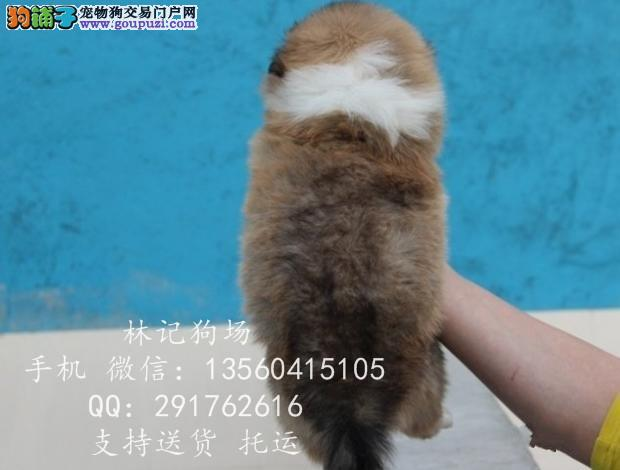 广州哪里有卖苏牧 中山狗场地址苏牧多少钱