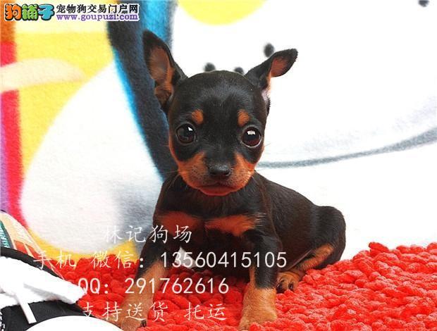 东莞市哪里有纯种小鹿犬 广州哪里有卖小鹿犬