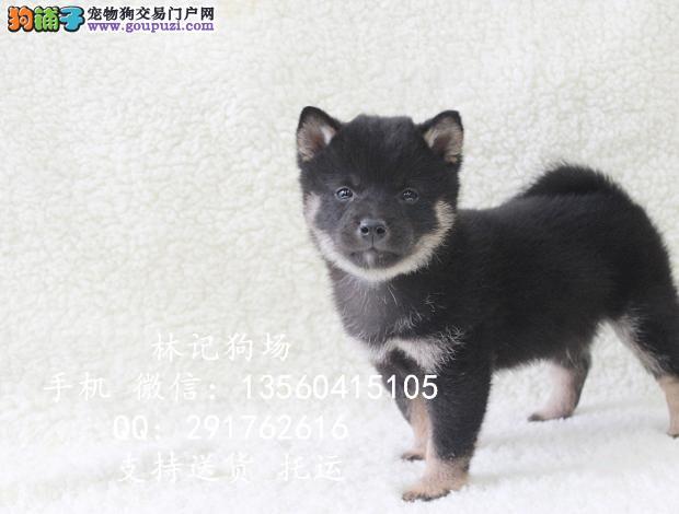 广州哪里有卖纯种柴犬 中山哪家狗场买狗比较好